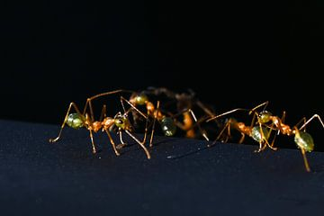 Grüne Ameisen von Robert Styppa