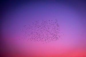 Vlucht vogels in gekleurde avondlucht van Noud de Greef