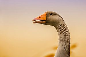 The Graylag goose in the sunset light