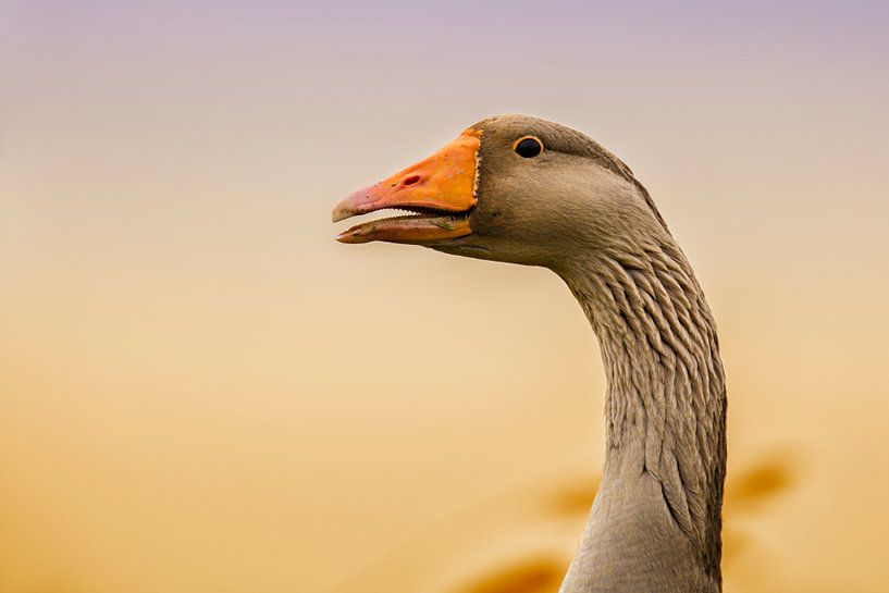 The Graylag goose in the sunset light von noeky1980 photography