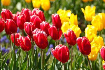 Tulpen van Torsten Krüger