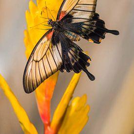 Papilio memnon agenor van Willem  Bentink