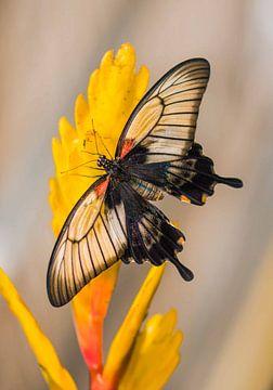 Papilio memnon agenor von Willem  Bentink