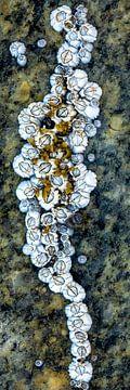 Les bernacles, l'art de la mer sur Sia Windig
