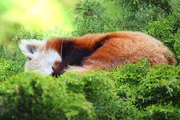Slapende kleine rode panda van Ezra Middelburg
