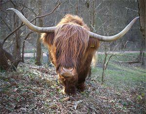 Een Schotse Hooglander komt naar je toe