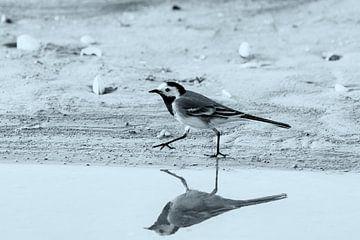 Bachstelze in Schwarz und Weiß von Andrea de Vries