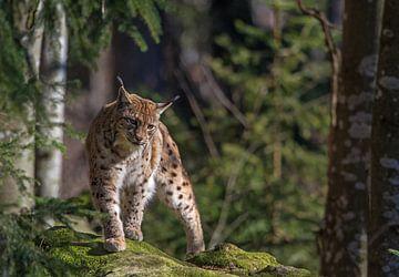 Lynx van Martin de Bock