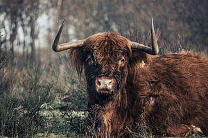 Schotse Hooglander van Rob van Dongen