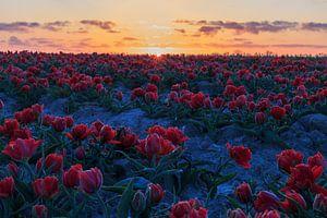 Zonsopkomst boven het tulpenveld. van Willemke de Bruin