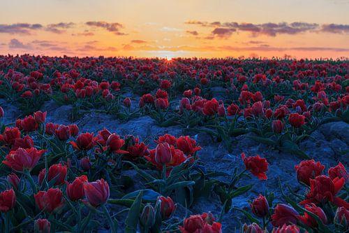 Zonsopkomst boven het tulpenveld.