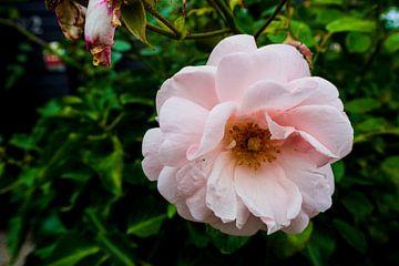 Roze klimroos 'New Dawn' van Sanne van der Stoel