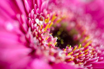 Wassertropfen auf einem lila Gerbera von Ricardo Bouman