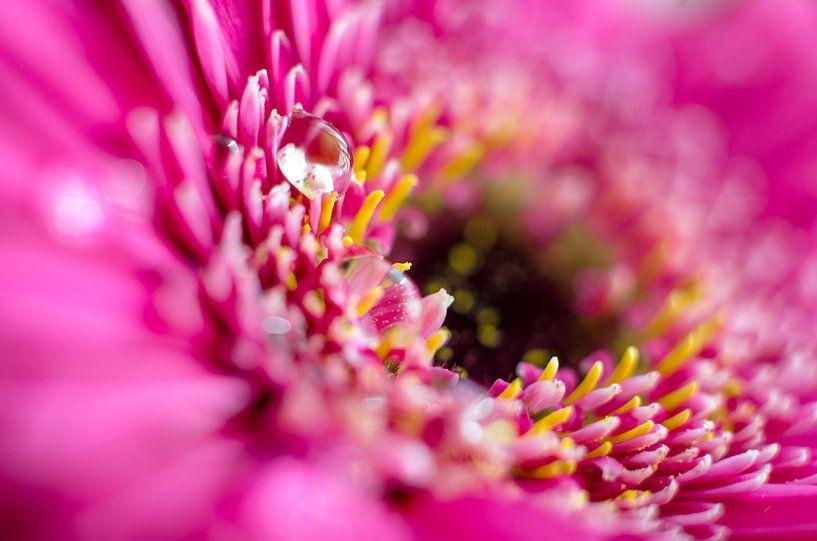 Roze Gerbera met waterdruppels van Ricardo Bouman | Fotografie