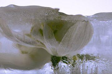 Schneeglöckchen in Eis 1