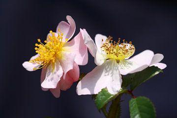 Wilde rozen van Jolanta Mayerberg