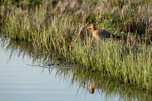 Godwit with reflection in the water