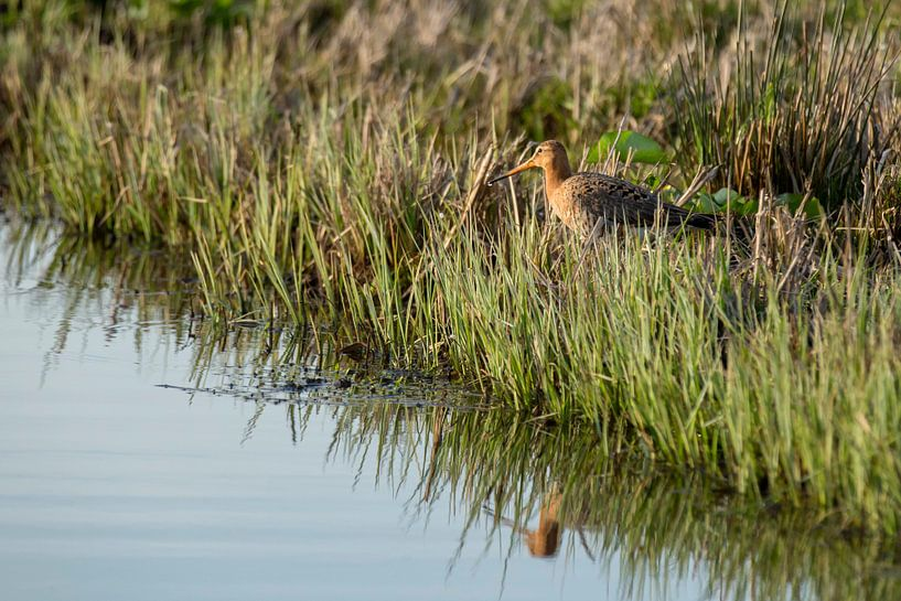 Godwit with reflection in the water sur noeky1980 photography