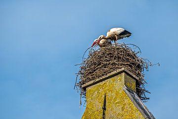 Ooievaars bouwen liefdevol aan het nest van Joyce Reimus