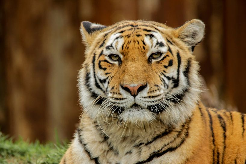 Siberische tijger van Martin Smit