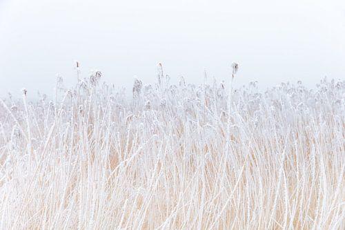 Een met rijp bedekte rietkraag in het friese landschap. Wout Kok One2expose Photography van