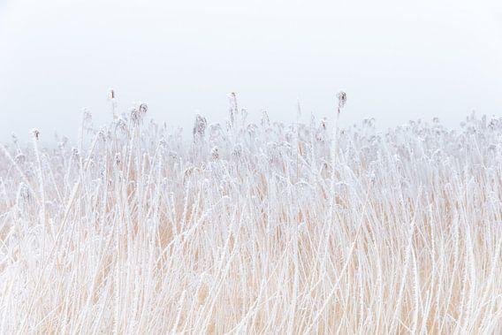 Een met rijp bedekte rietkraag in het friese landschap. Wout Kok One2expose Photography van Wout Kok