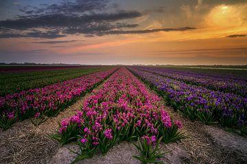 Hyacinten von Klaas Fidom