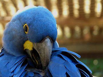 Blauer Ara von Chloë Luyckx