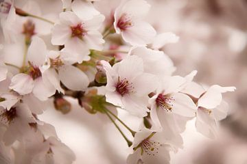 Cherry blossom van Jeannet Bijlsma