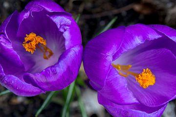 Close-up van twee paarse krokussen
