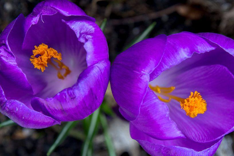 Close-up van twee paarse krokussen  van Fleur Halkema