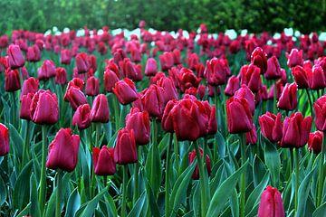 Rode Tulpen. van Melanie Schook