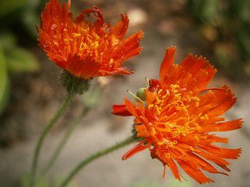 bloem van Colette Jut