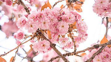 Kirschblüten von Fotoverliebt - Julia Schiffers