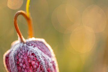 Kievitsbloem met rijp van