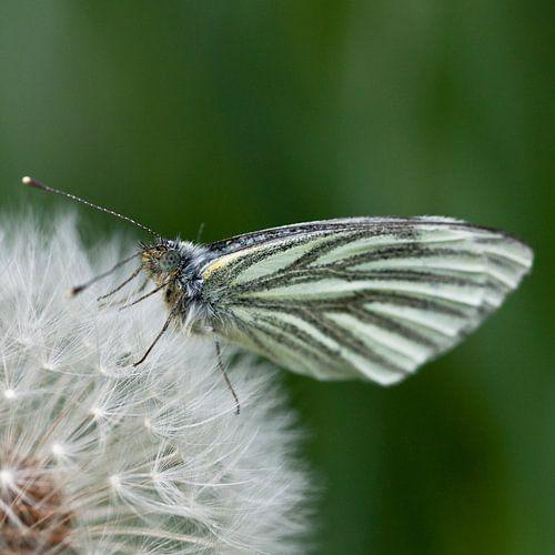 Vlinder op pluizebol van Wim de Lange