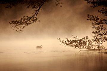 Ente bei Sonnenaufgang sur