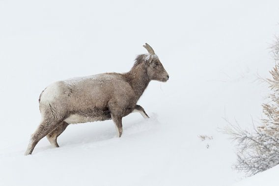 Rocky Mountain Bighorn Sheep ( Ovis canadensis ) in winter, adult female, walking up a hill, deep sn
