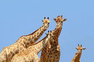 Giraffen gezin nieuwsgierig, Afrika