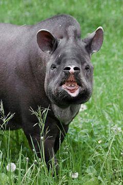 Nez relevé et dents nues bête inhabituelle tapir plein visage, la nature de l'Amérique du Sud pampa sur Michael Semenov