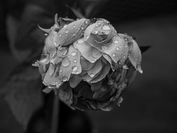 Pioenroos zwart en wit. van Maurice Looyestein