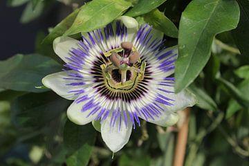 Passiflora van Roberto Zea Groenland-Vogels