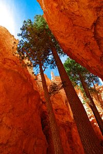 De hoge bomen van Bryce Canyon