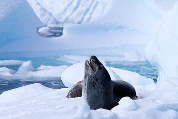 Zeeluipaard op een ijsschots van Angelika Stern