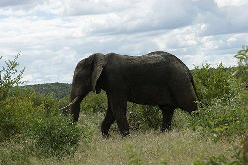 Wandelende olifant in Zuid-Afrika
