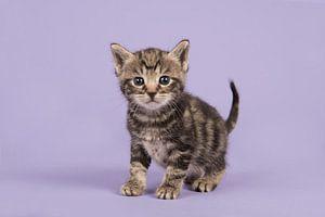 Kätzchen in Lila