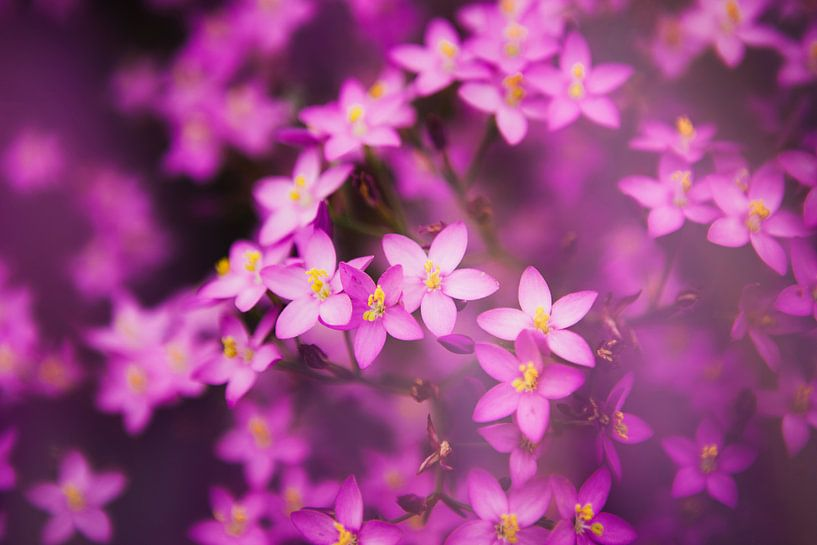 Paarse bloemetjes van Jacqueline Lemmens