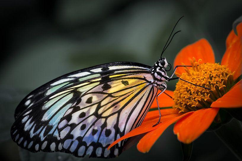 Macro beeld van een tropische vlinder op een gekleurde bloem tegen een grijze achtergrond van Wout Kok