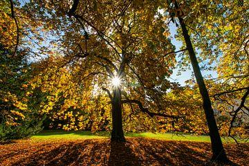 Kastanienbaum voll in Herbstfarben von Arthur Puls Photography