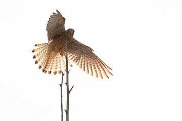 Landende Torenvalk (Falco tinnunculus) 2 van Anne Ponsen